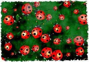 8258-300x209-Lots_of_ladybugs